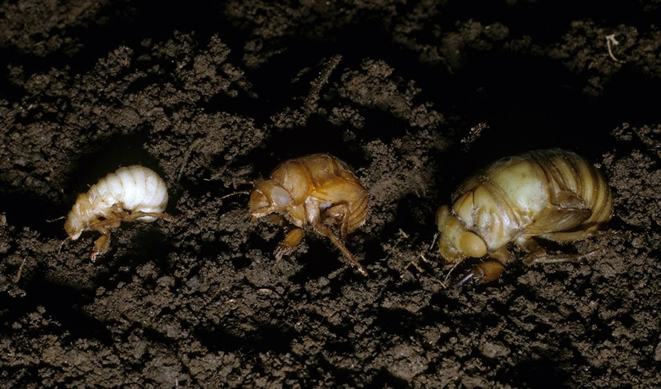 17 Year Cicada Bugs