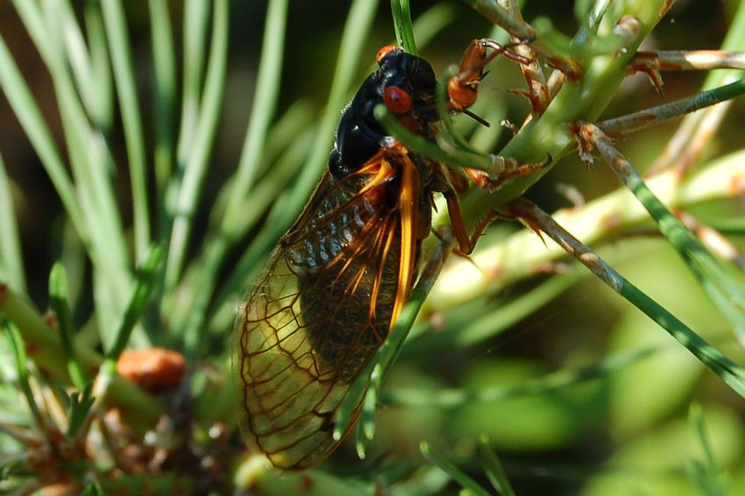17 Year Cicada Facts