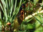 17 Year Cicada Facts