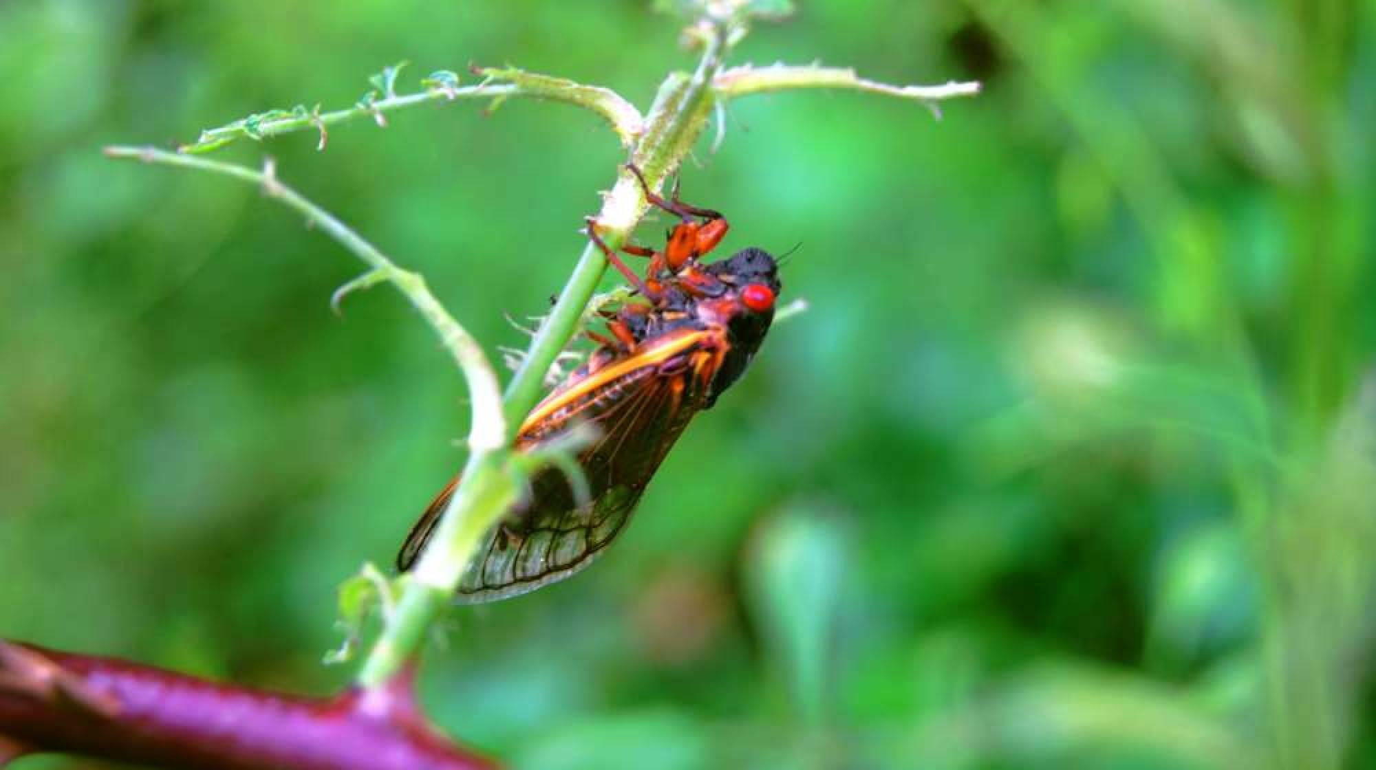 17 Year Cicada Gallery
