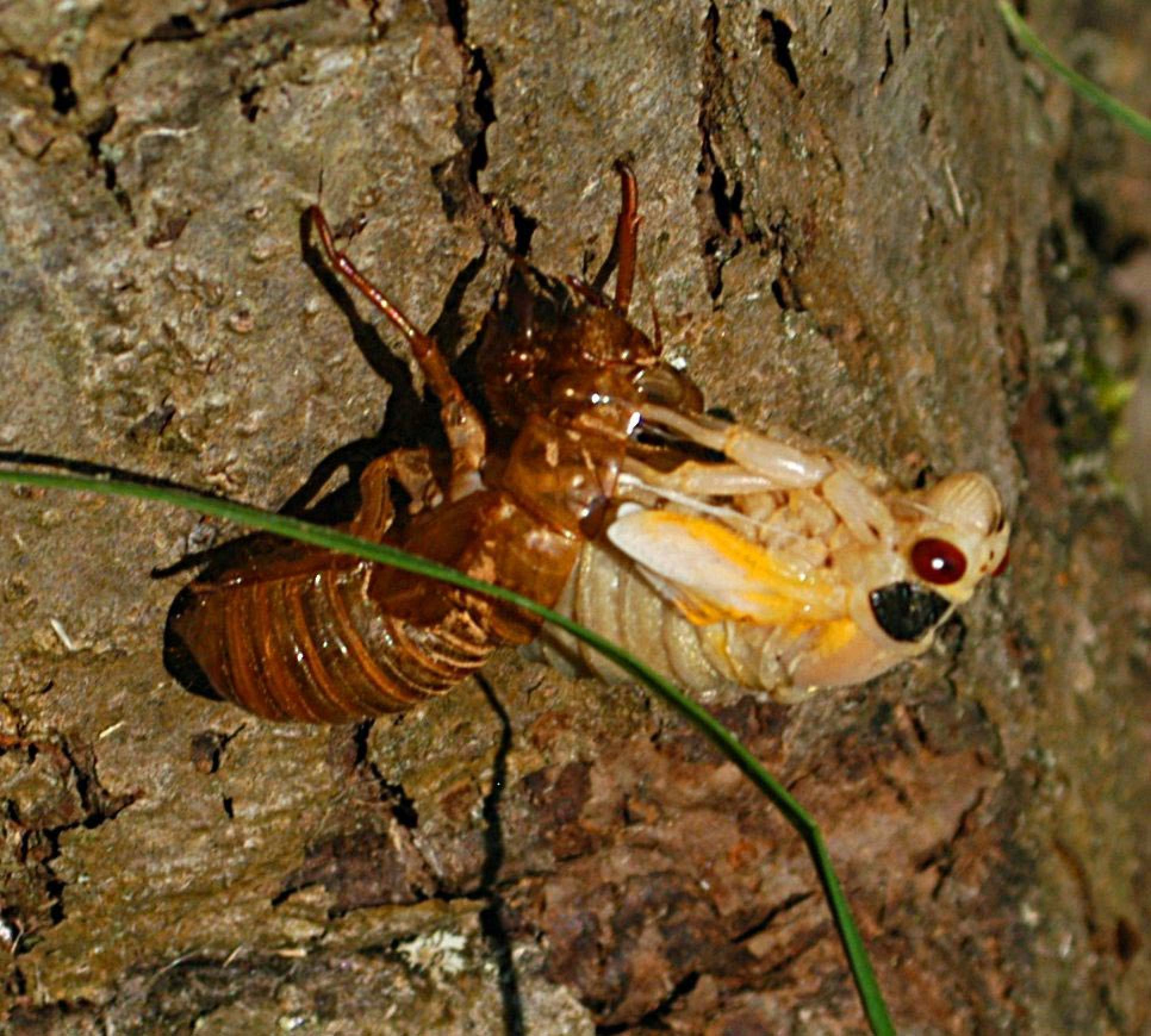 how to stop a cicada from croaking