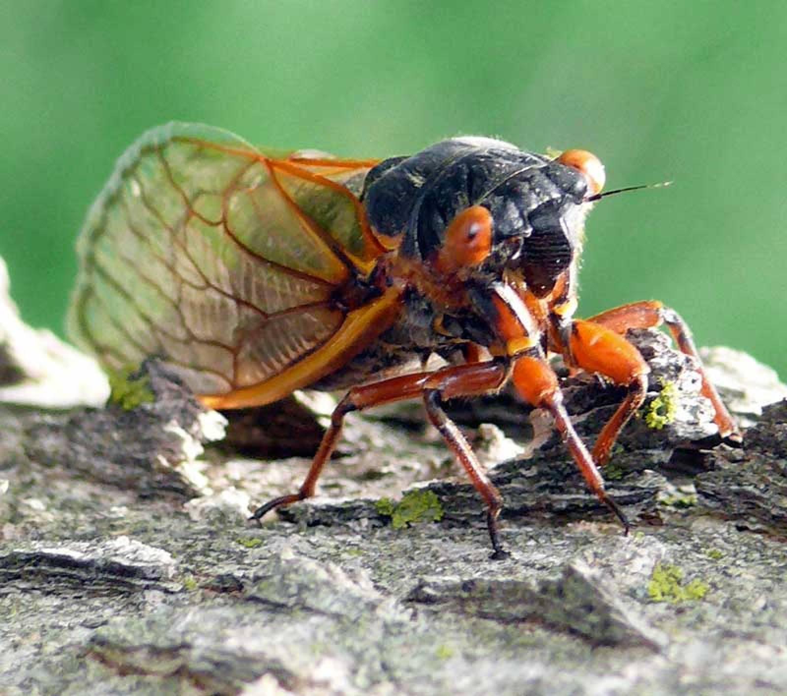 17 Year Cicada Photos