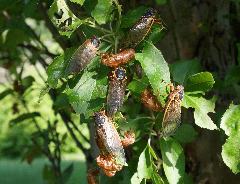 17 Year Cicada Swarm