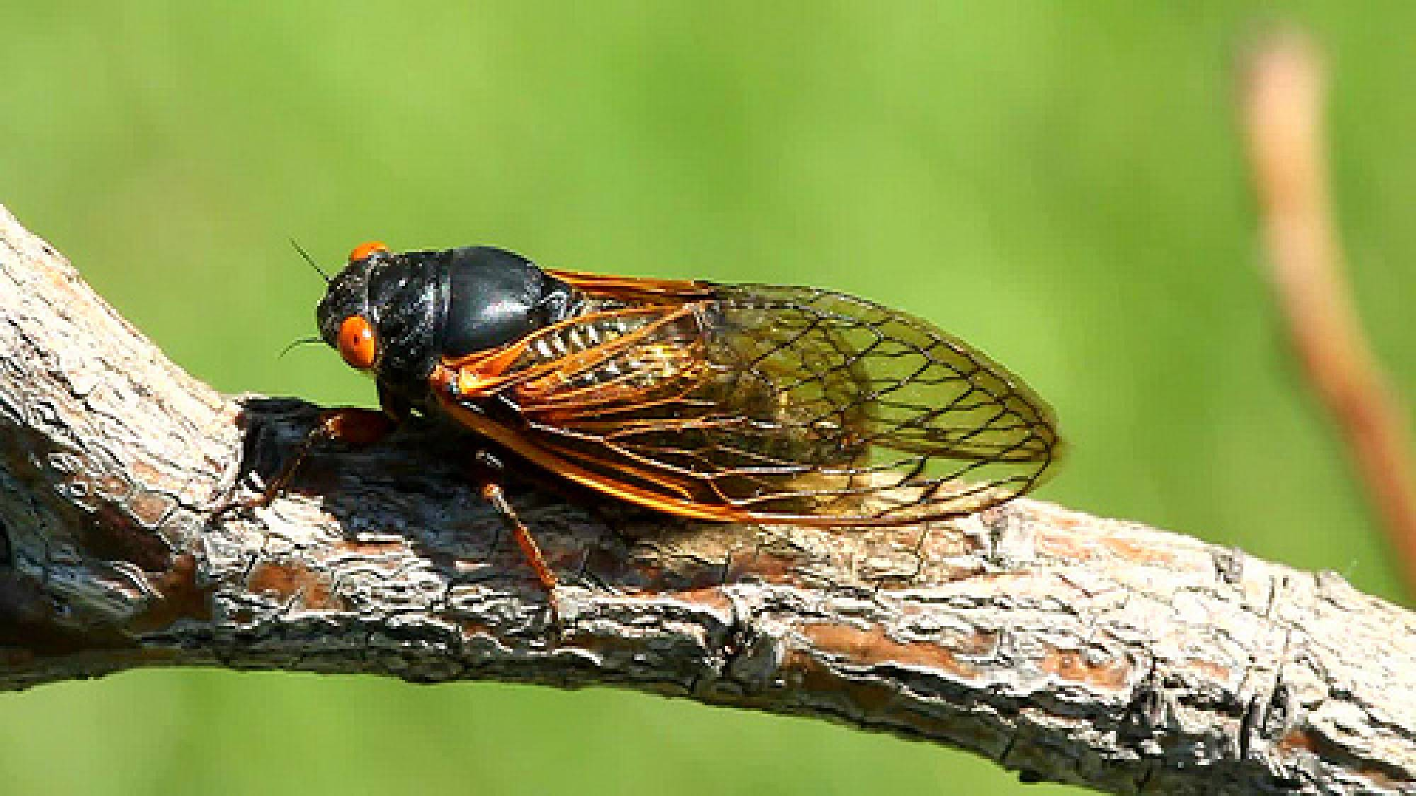 17 Year Cycle Cicada