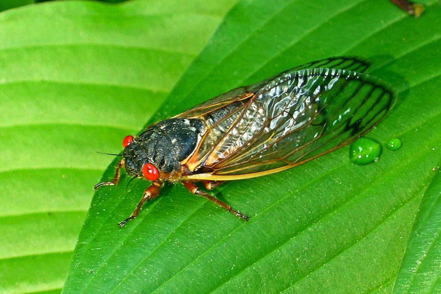 17 Year Locust Cicada