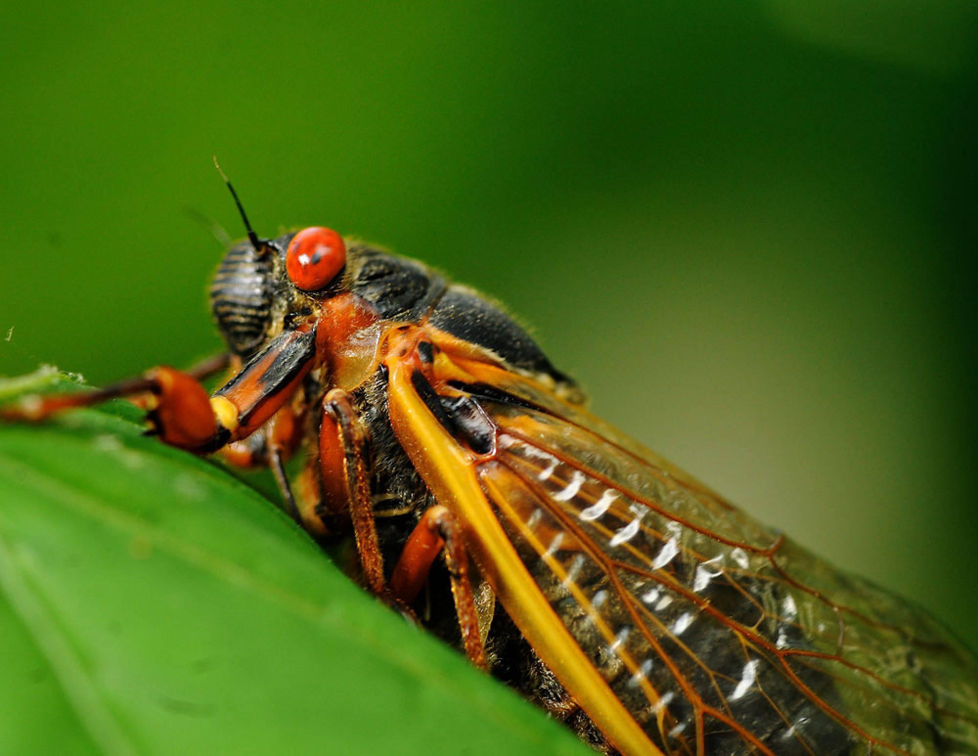 17 Year Periodical Cicadas