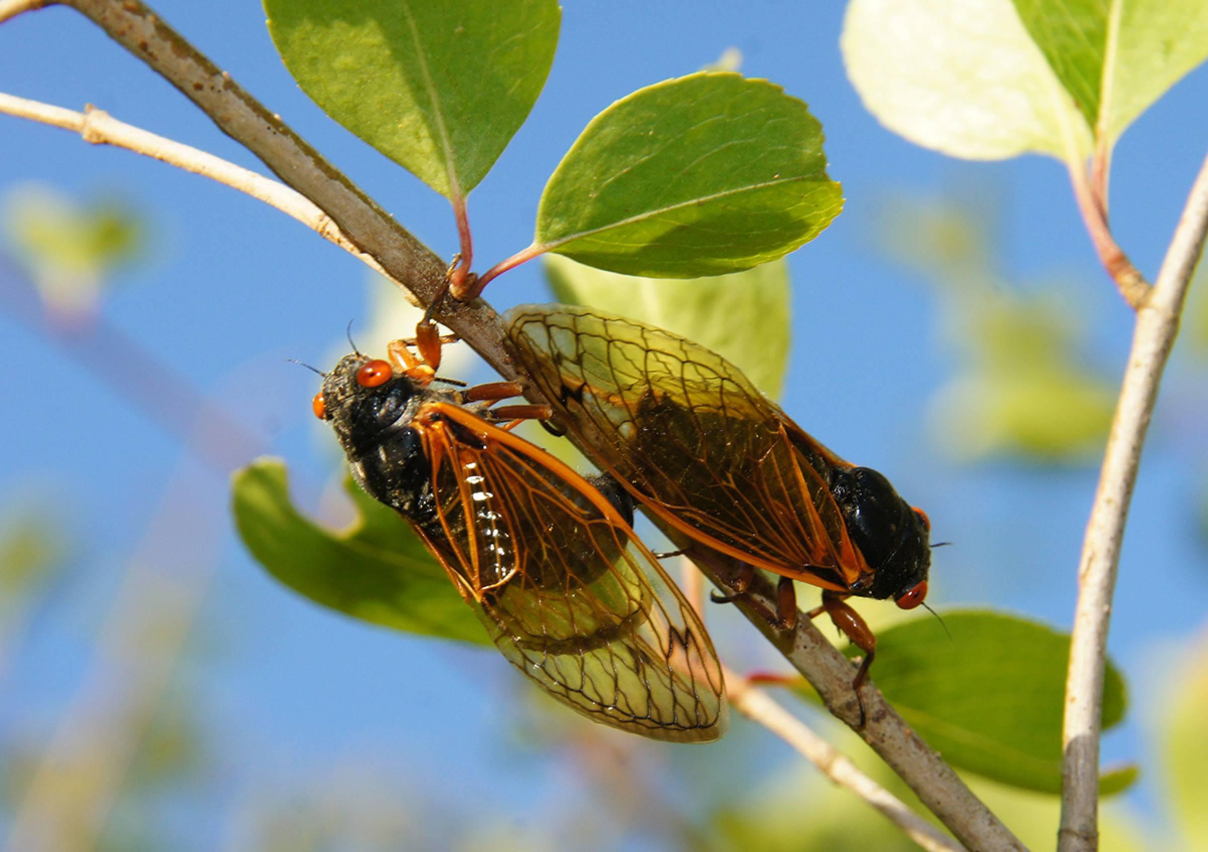 17 Years Cicadas