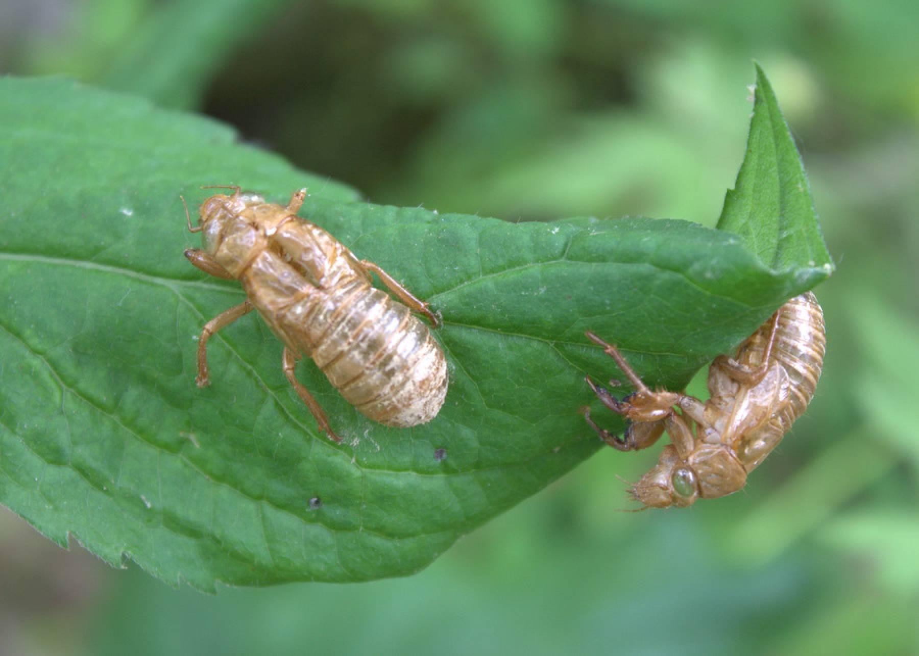 Cicada Bug 17 Years