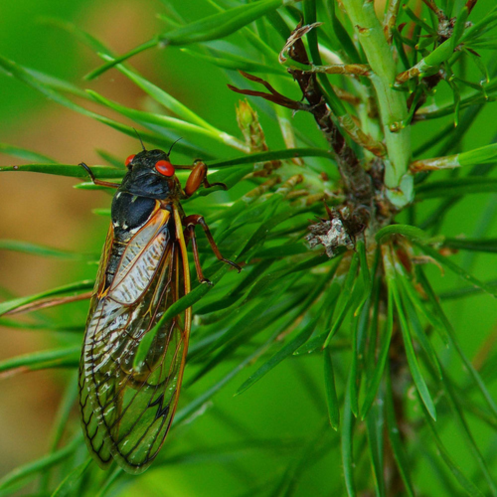 Cicada Insect 17 Years