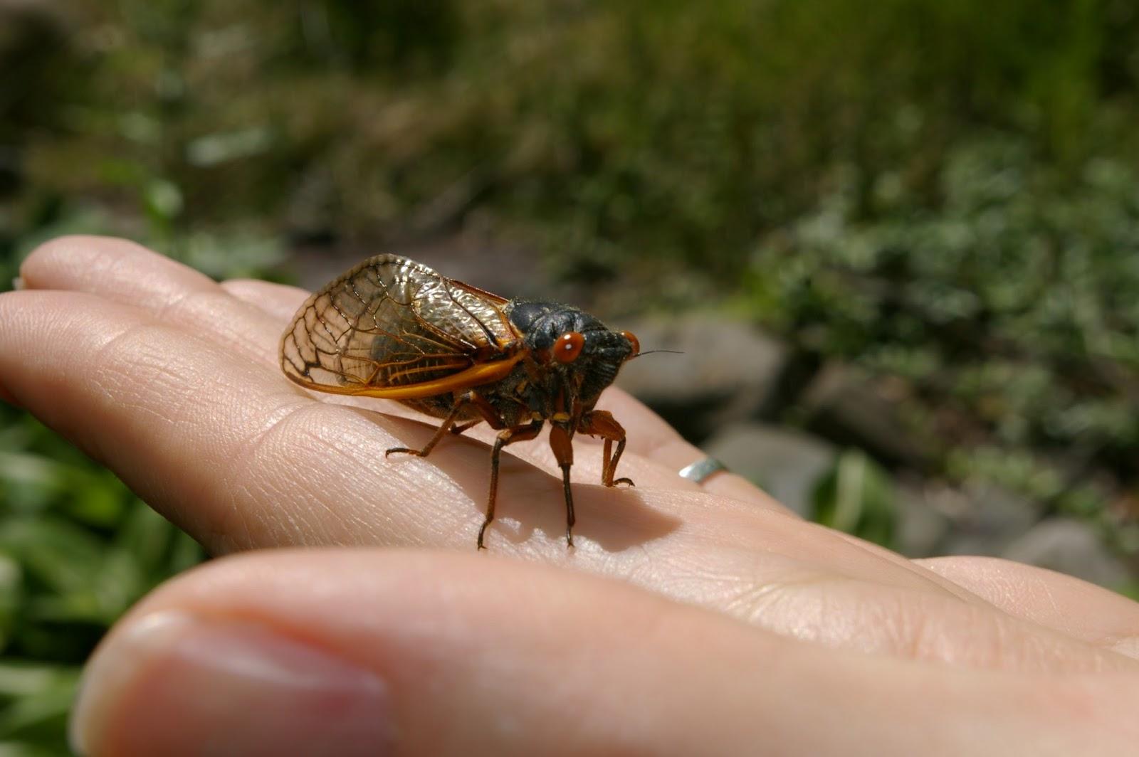 Cicada Why 17 Years