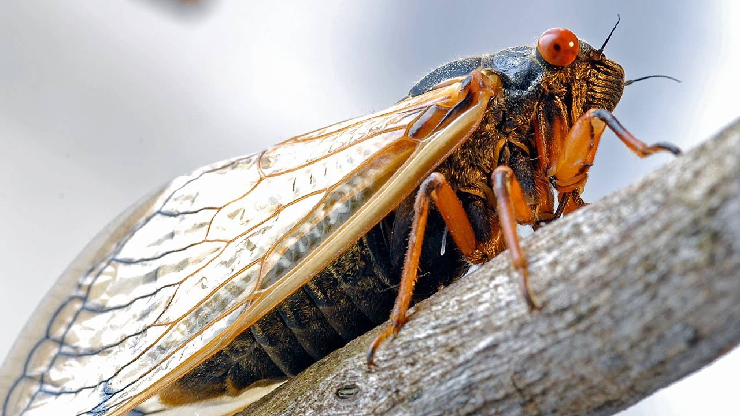 Cicadas 17 Year Cycle