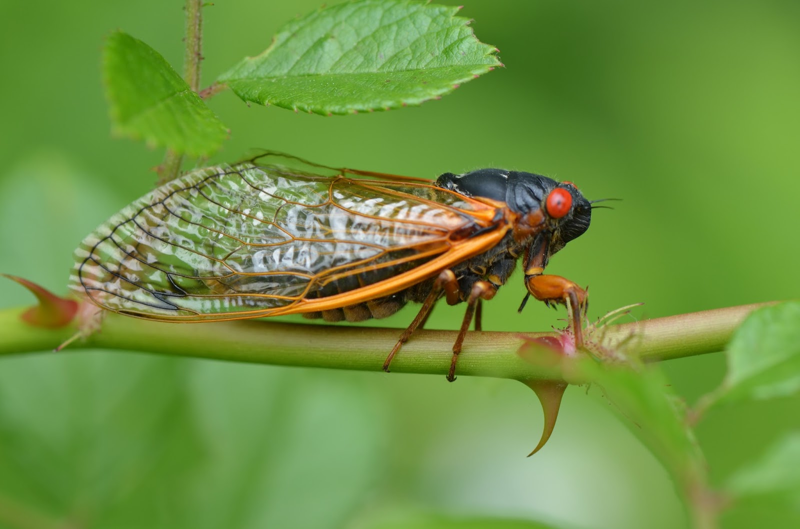 Cicadas 17 Years