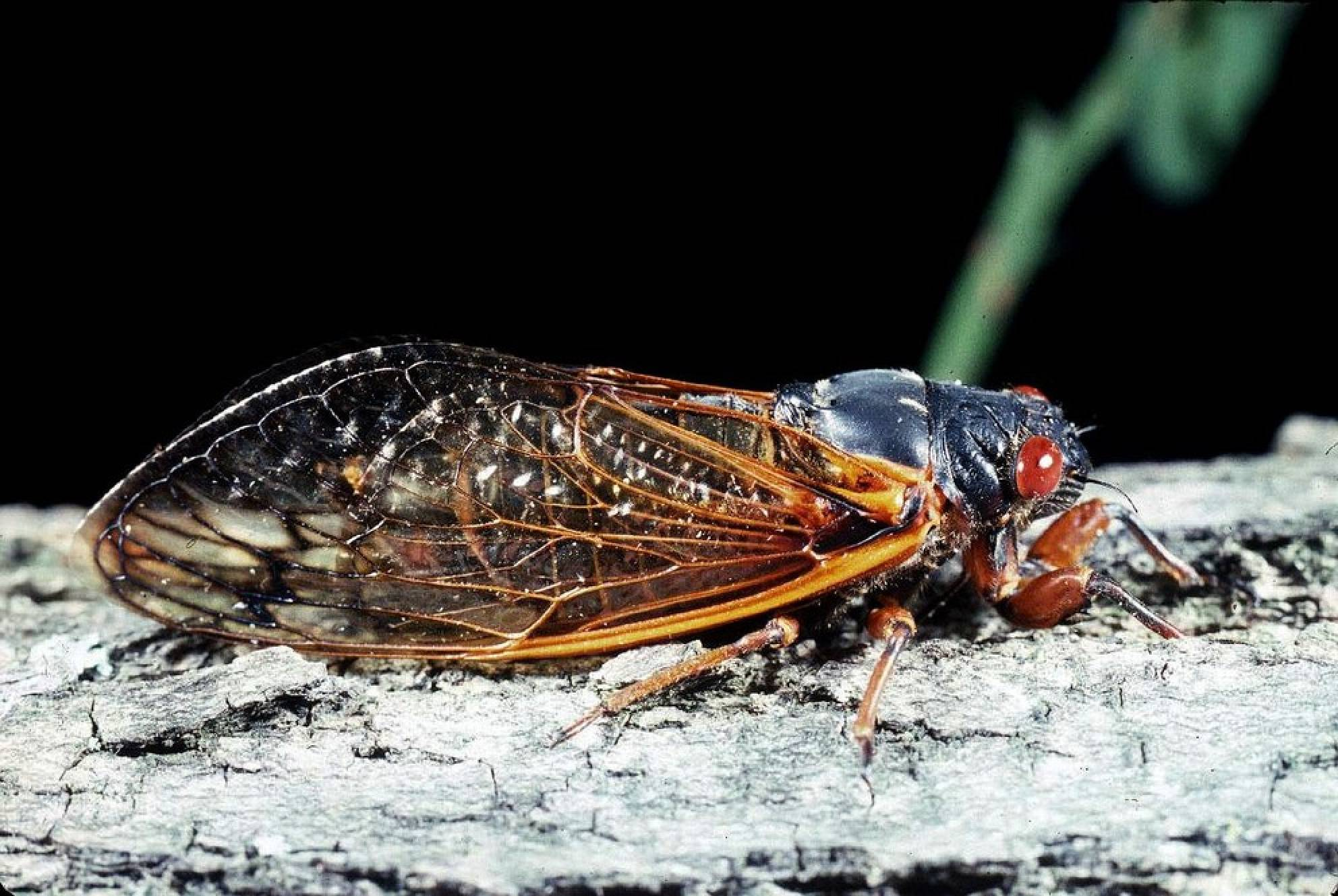 Insects 17 Year Cicada