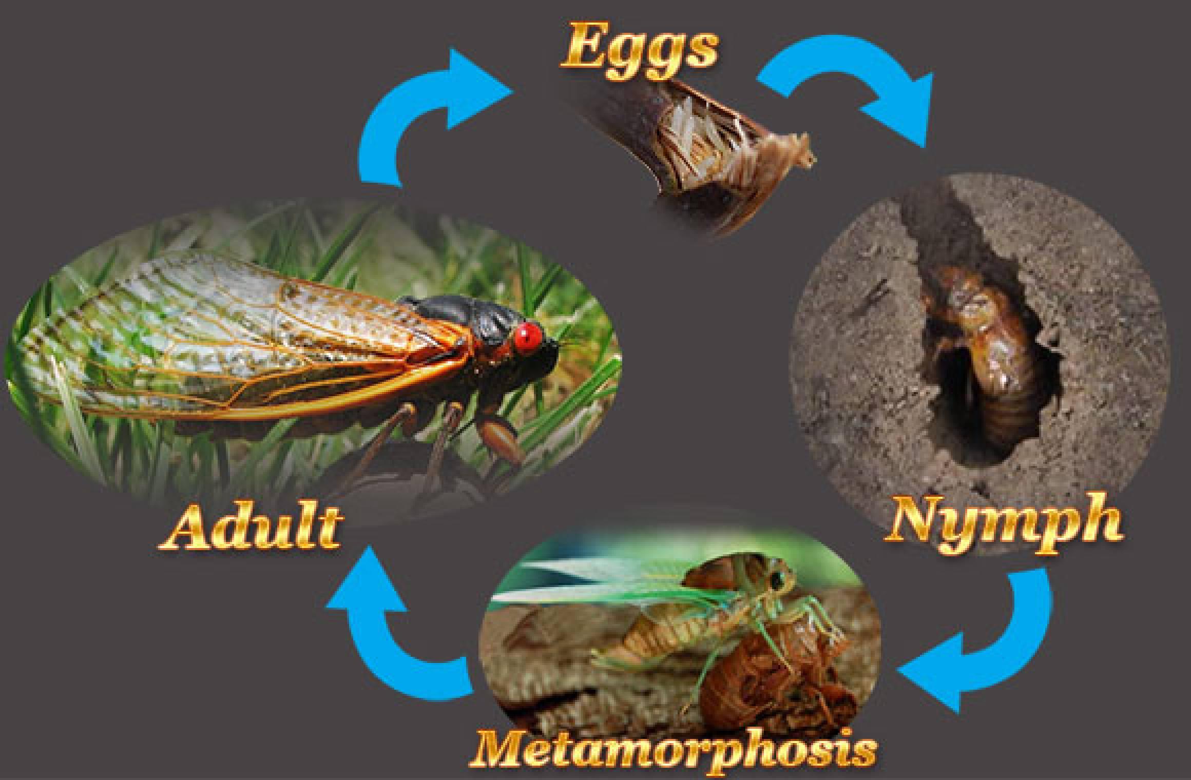 Life Cycle Of A Cicada...