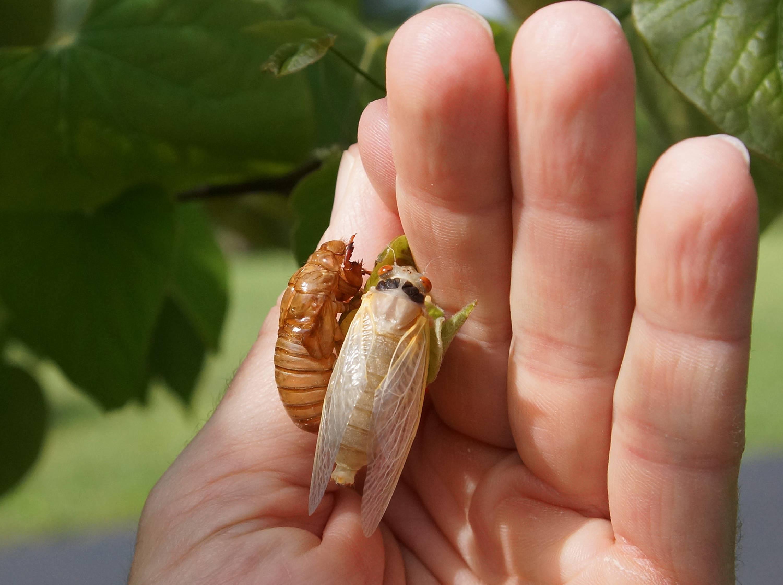Cicadas Bugs Photos
