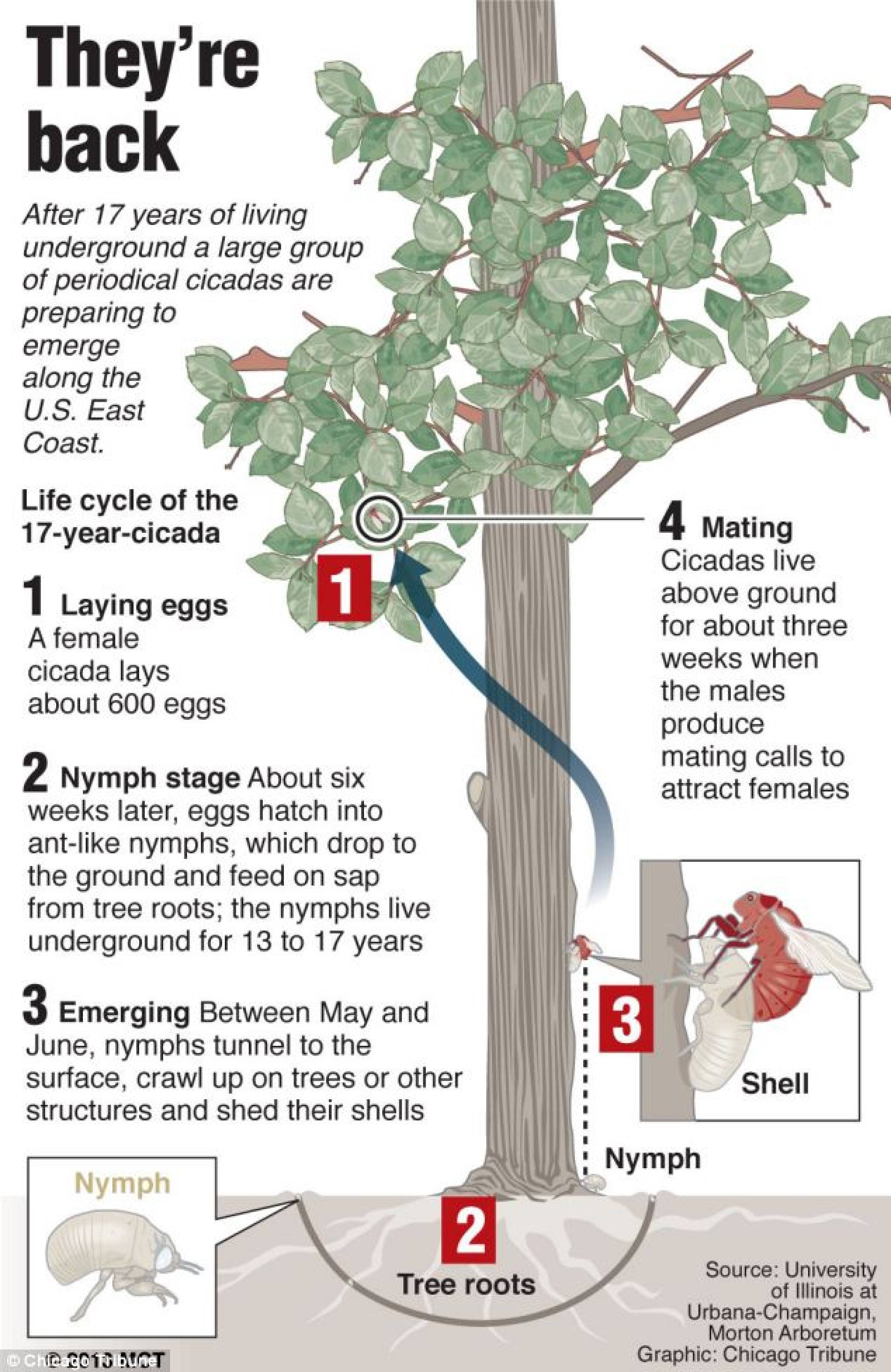 Cicadas Life Cycle