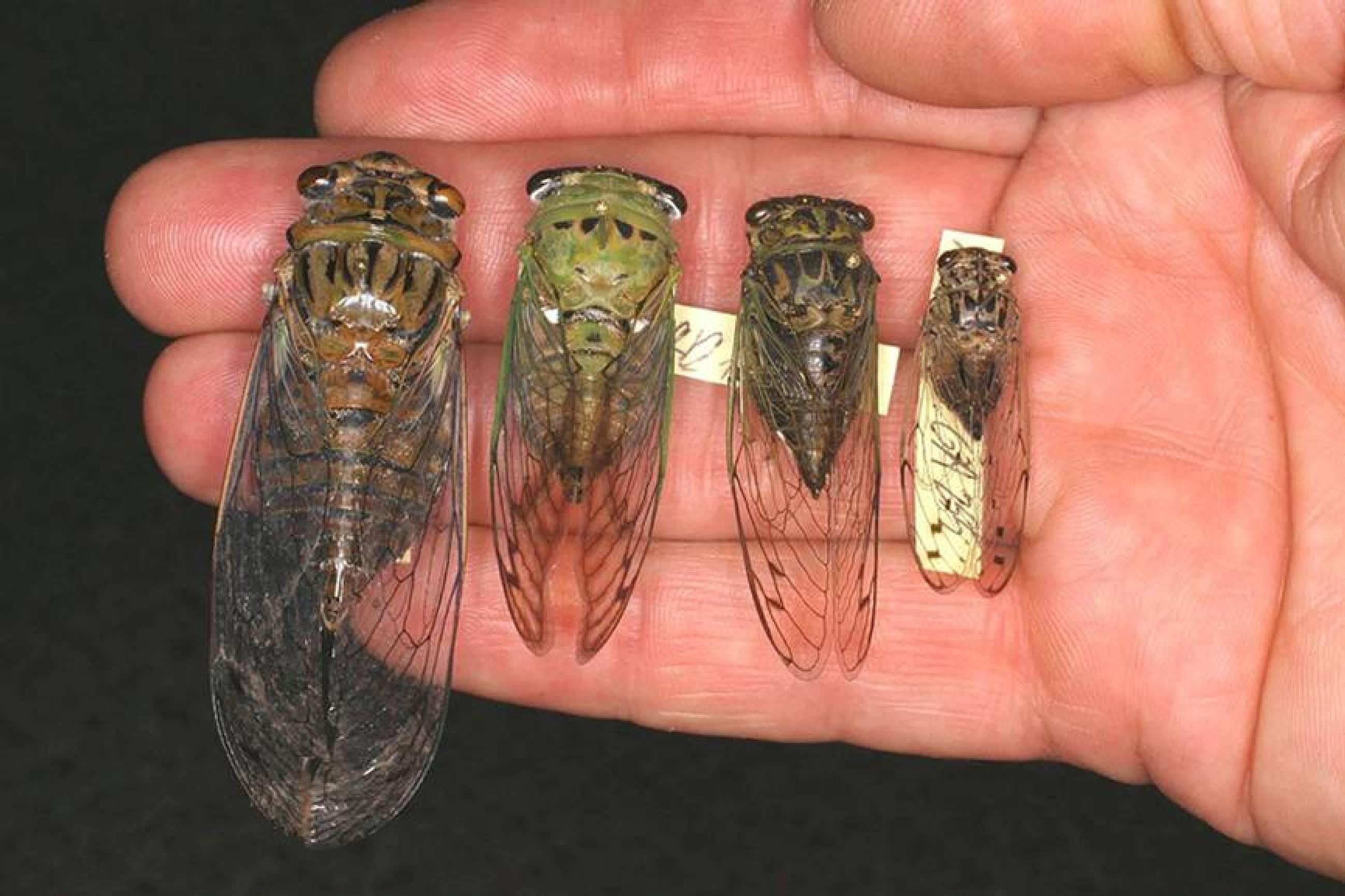 Cicadas Range