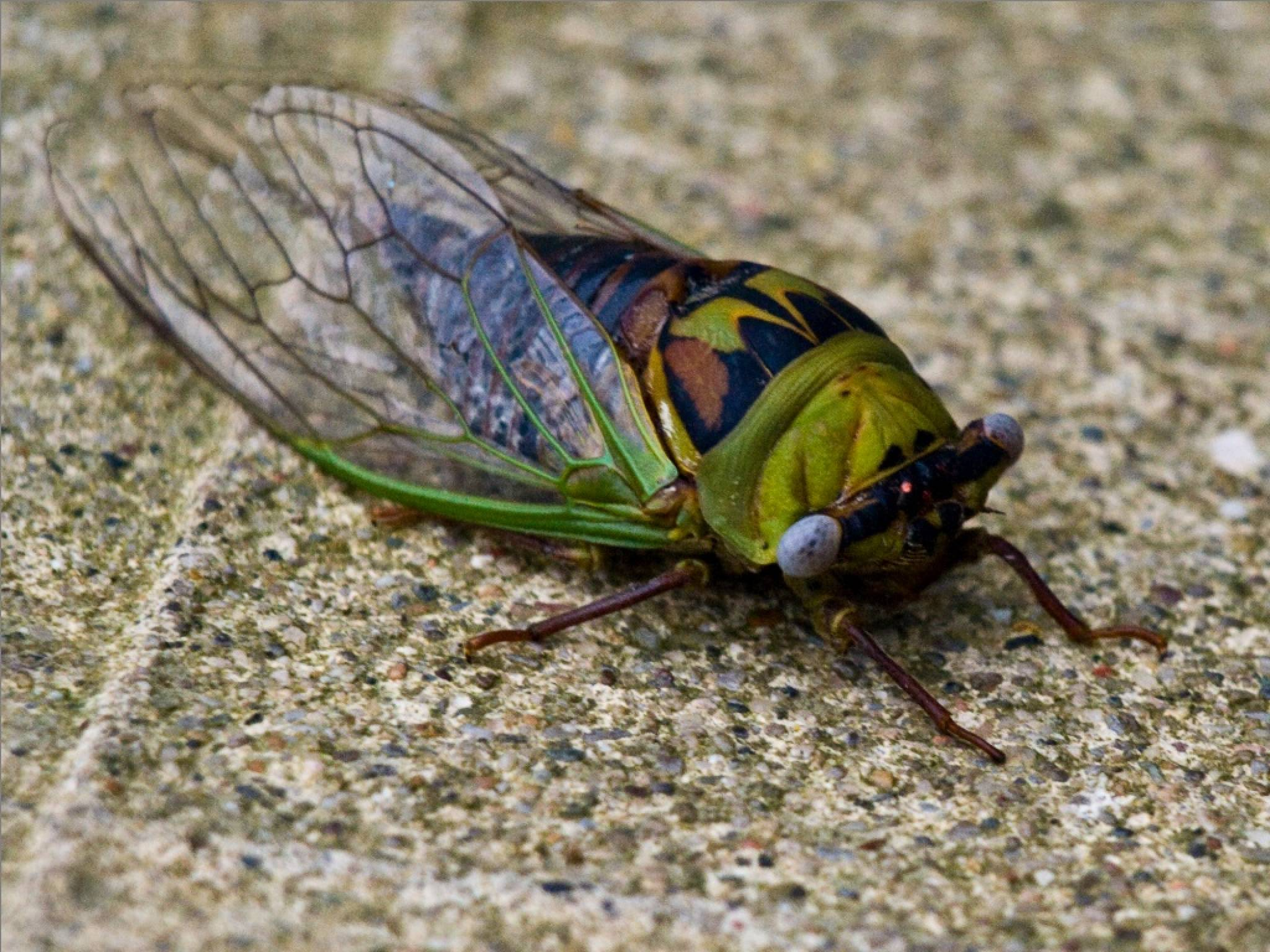 Insect Cicadas