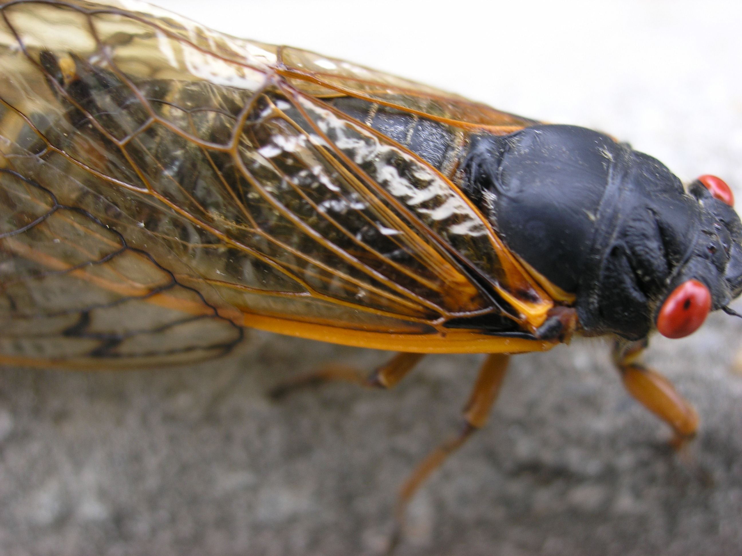 Insects Cicada