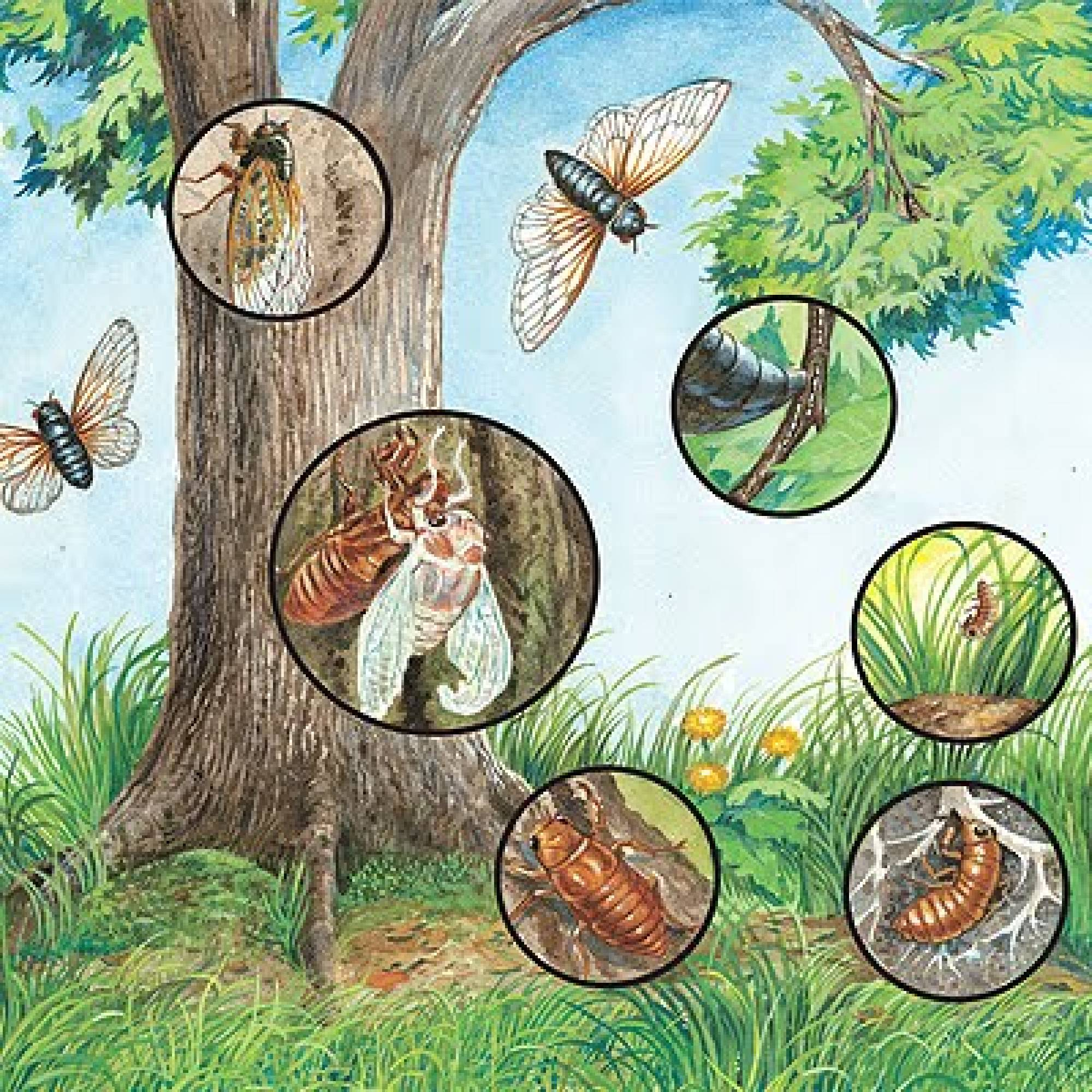 Life Cycle Of a Cicada