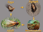 Life Cycle Of Cicadas