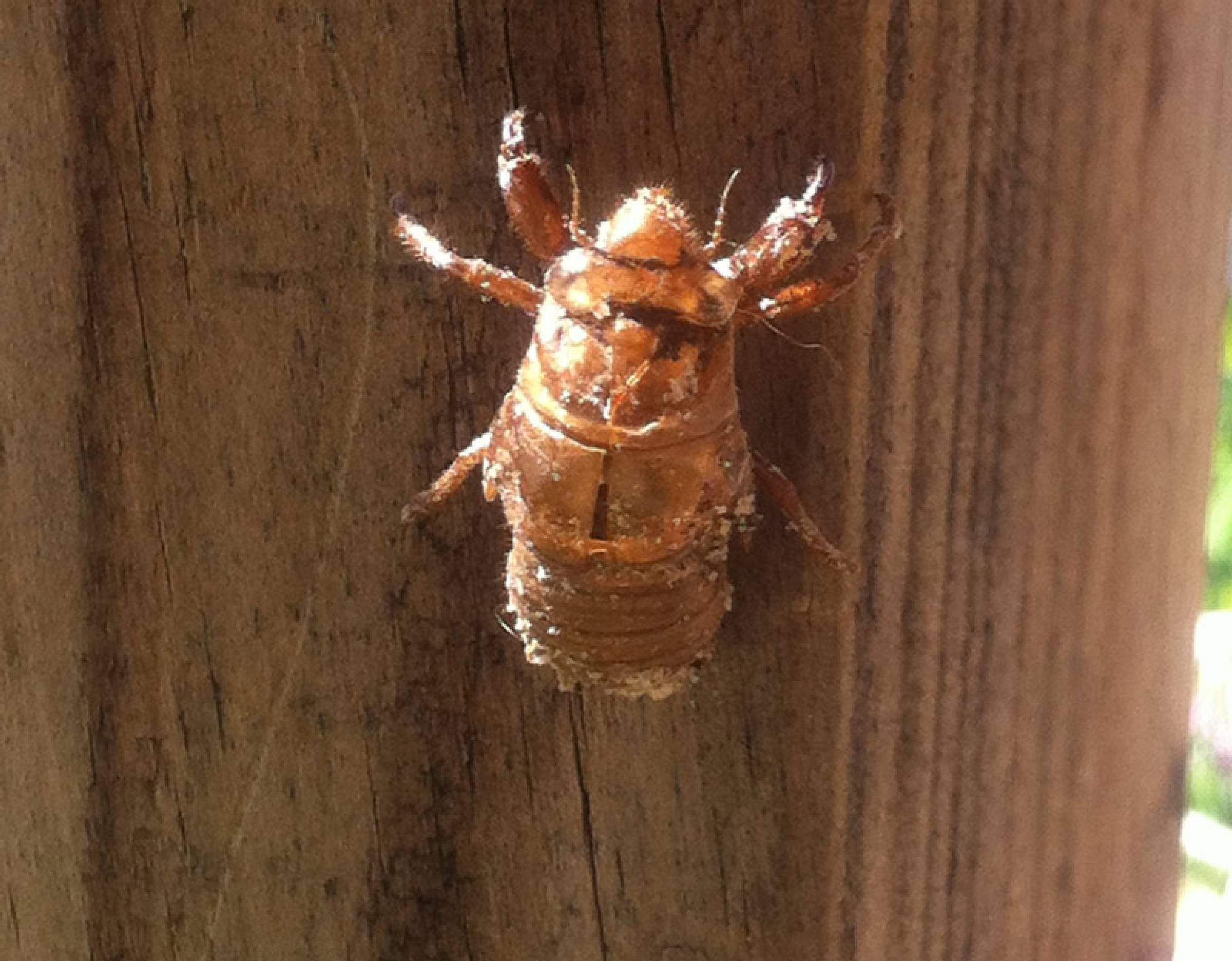 The Bug Cicada