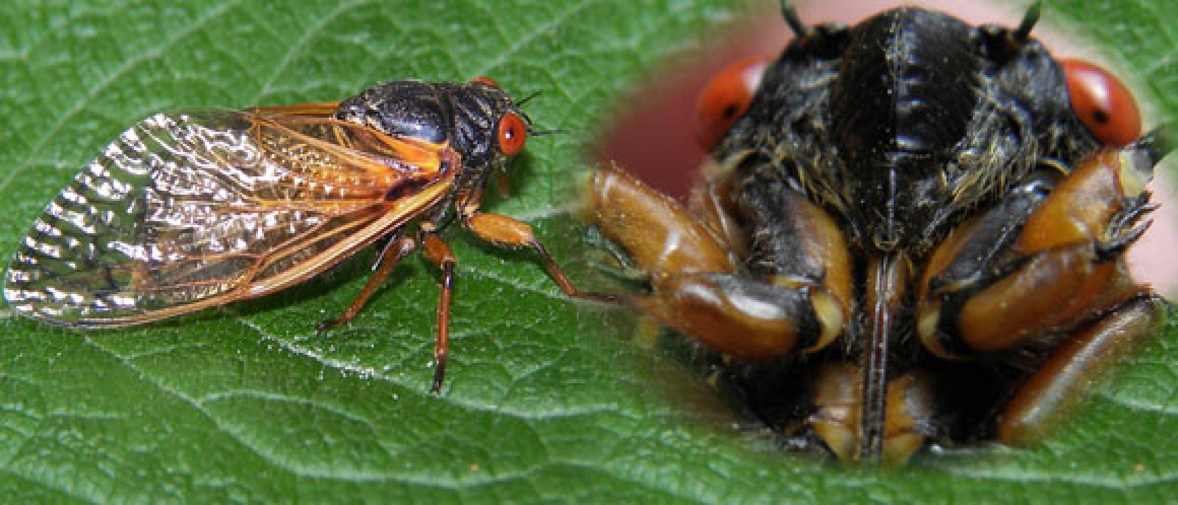 How To Define Cicada 9 Edifying Facts For Comers Goers
