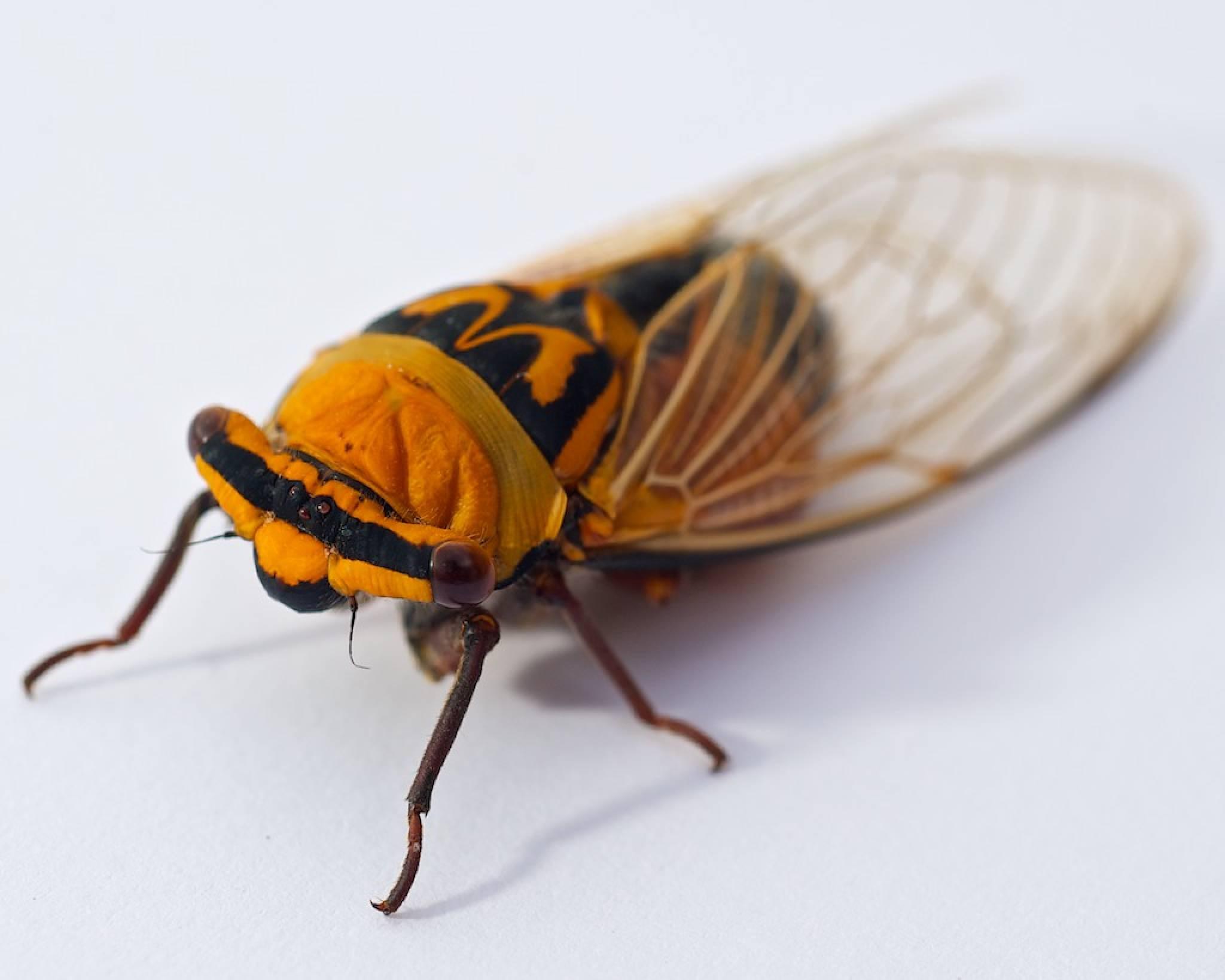 Cicada Australia