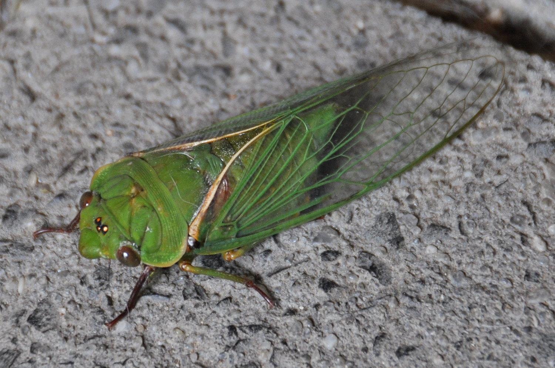 Cicada Images