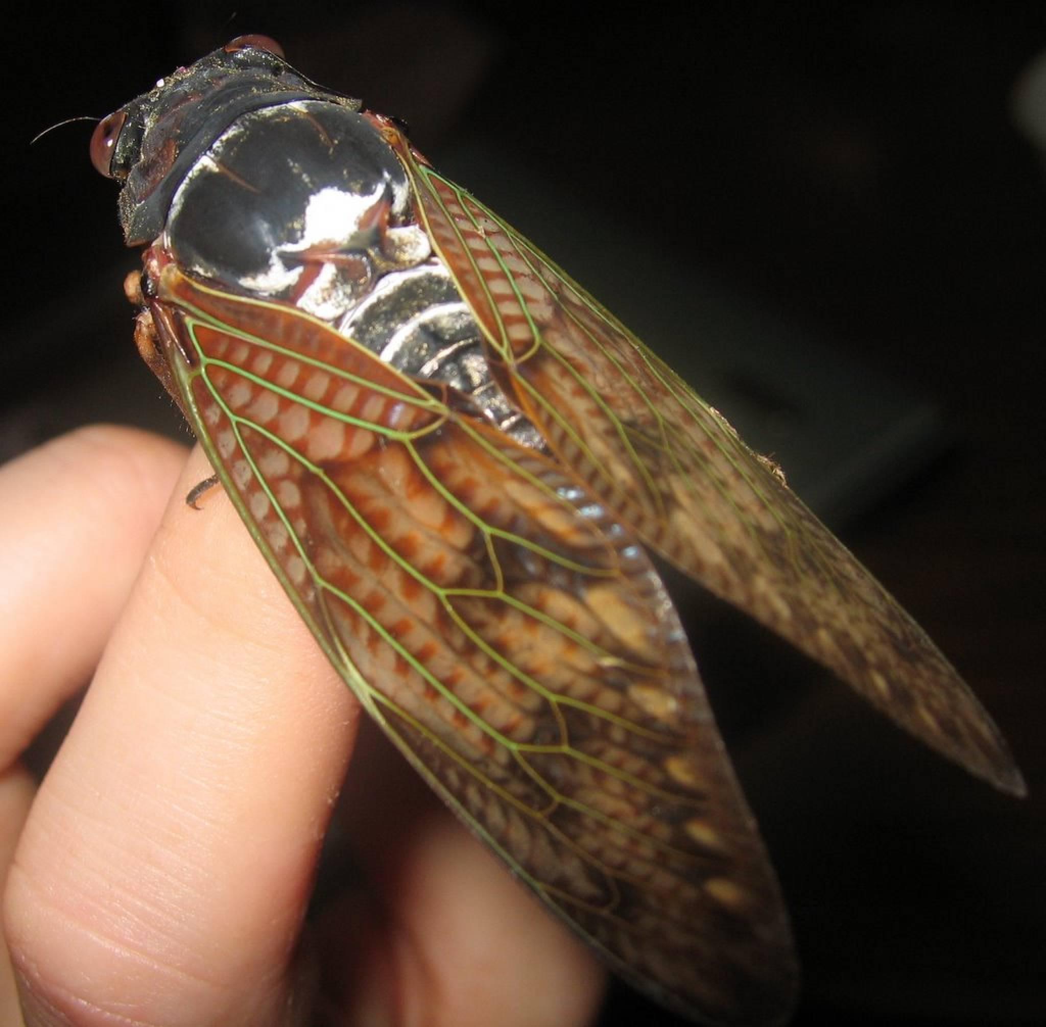 Cicada Japan