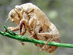 Cicada Larvae Photos