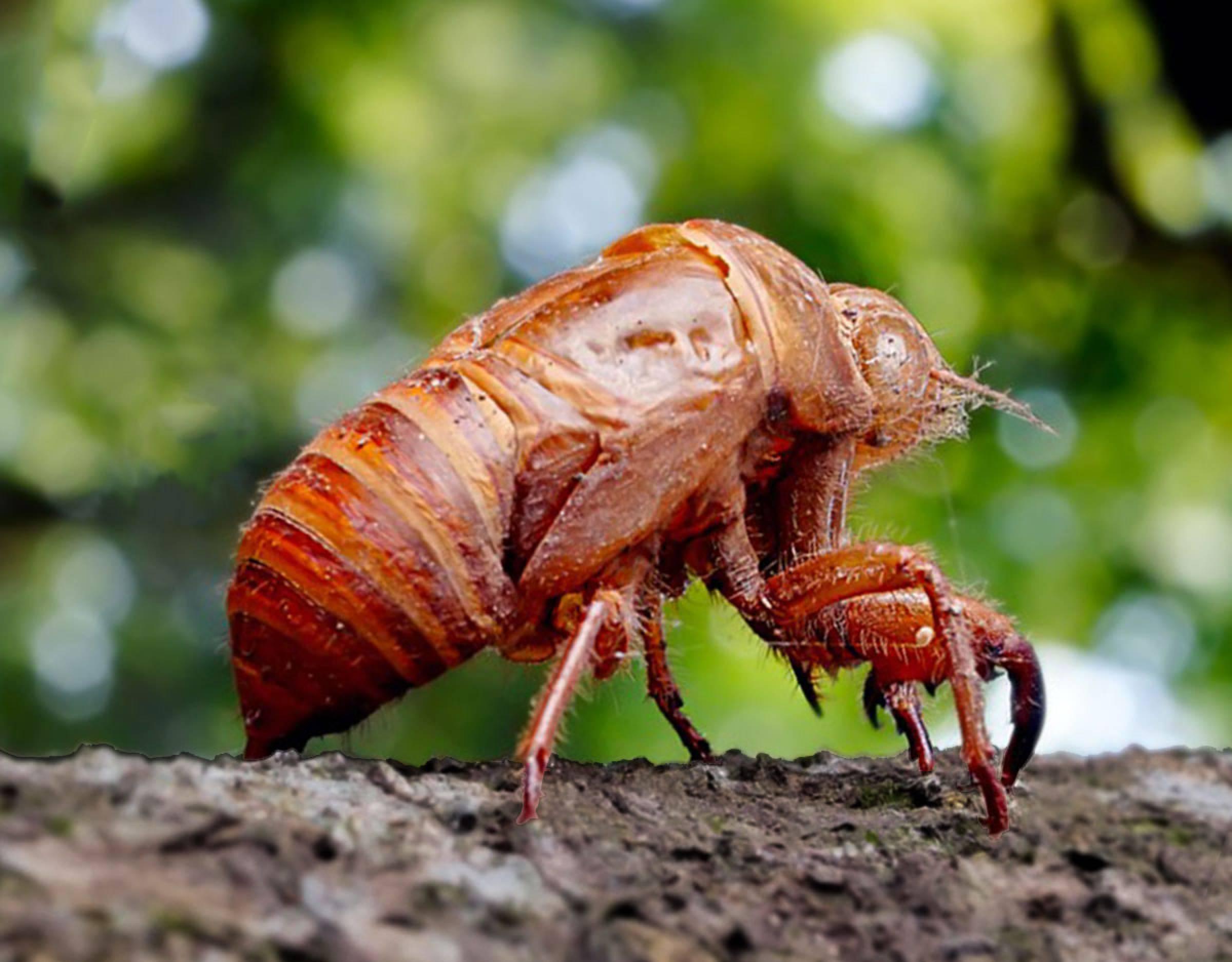 Cicada Larvae