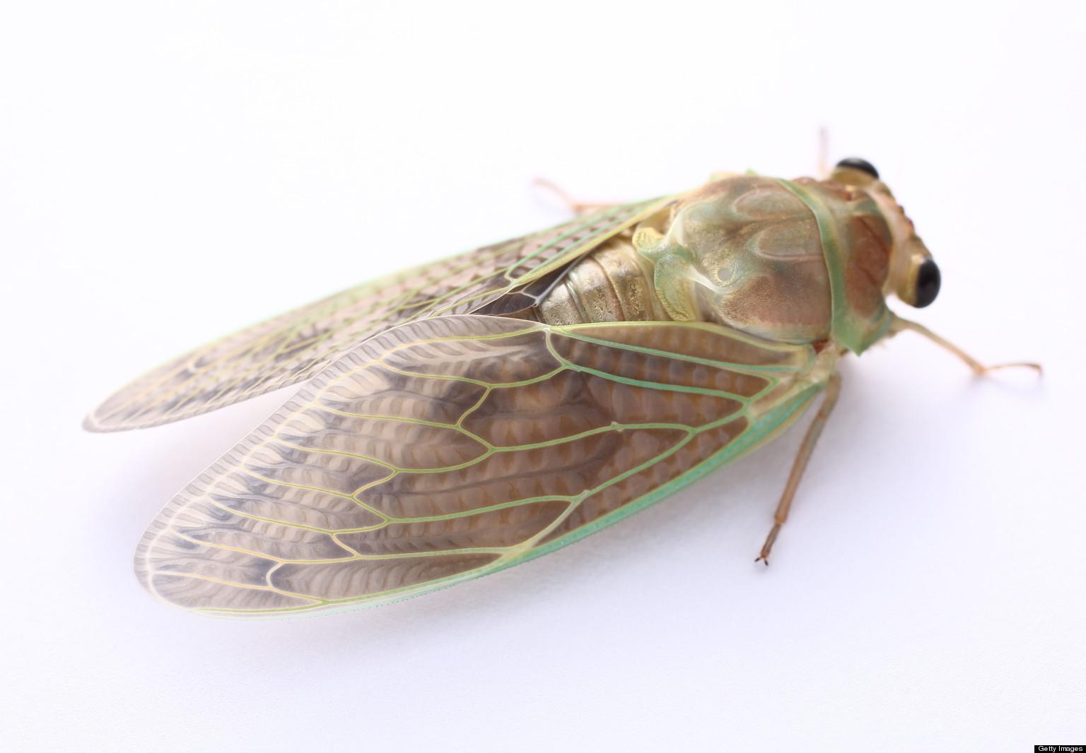 Cicada Picture