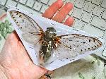 Largest Cicada
