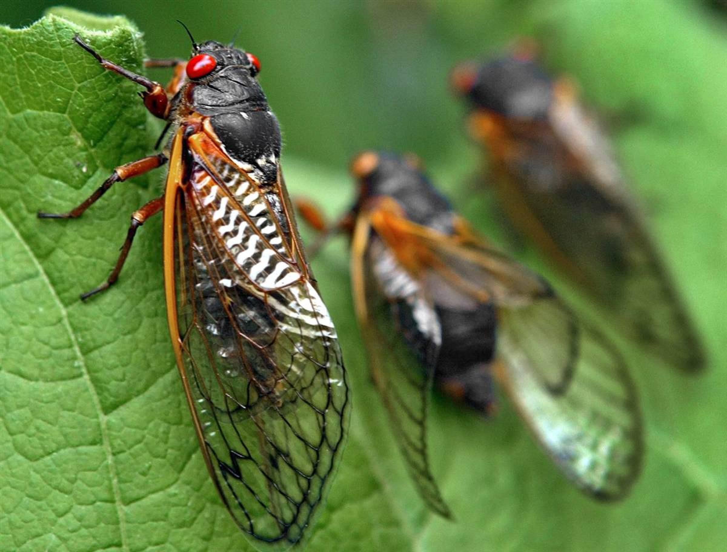 Pictures Cicada
