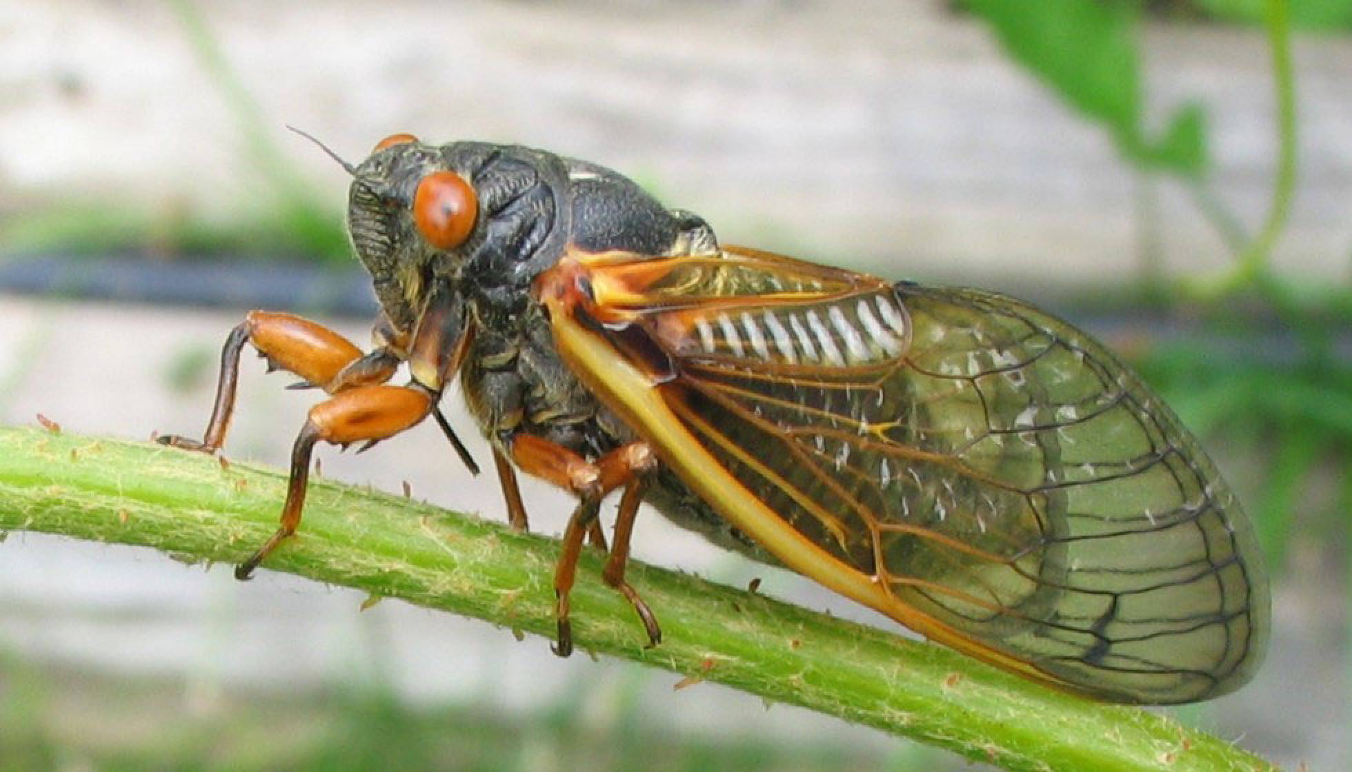 Pictures Of a Cicada