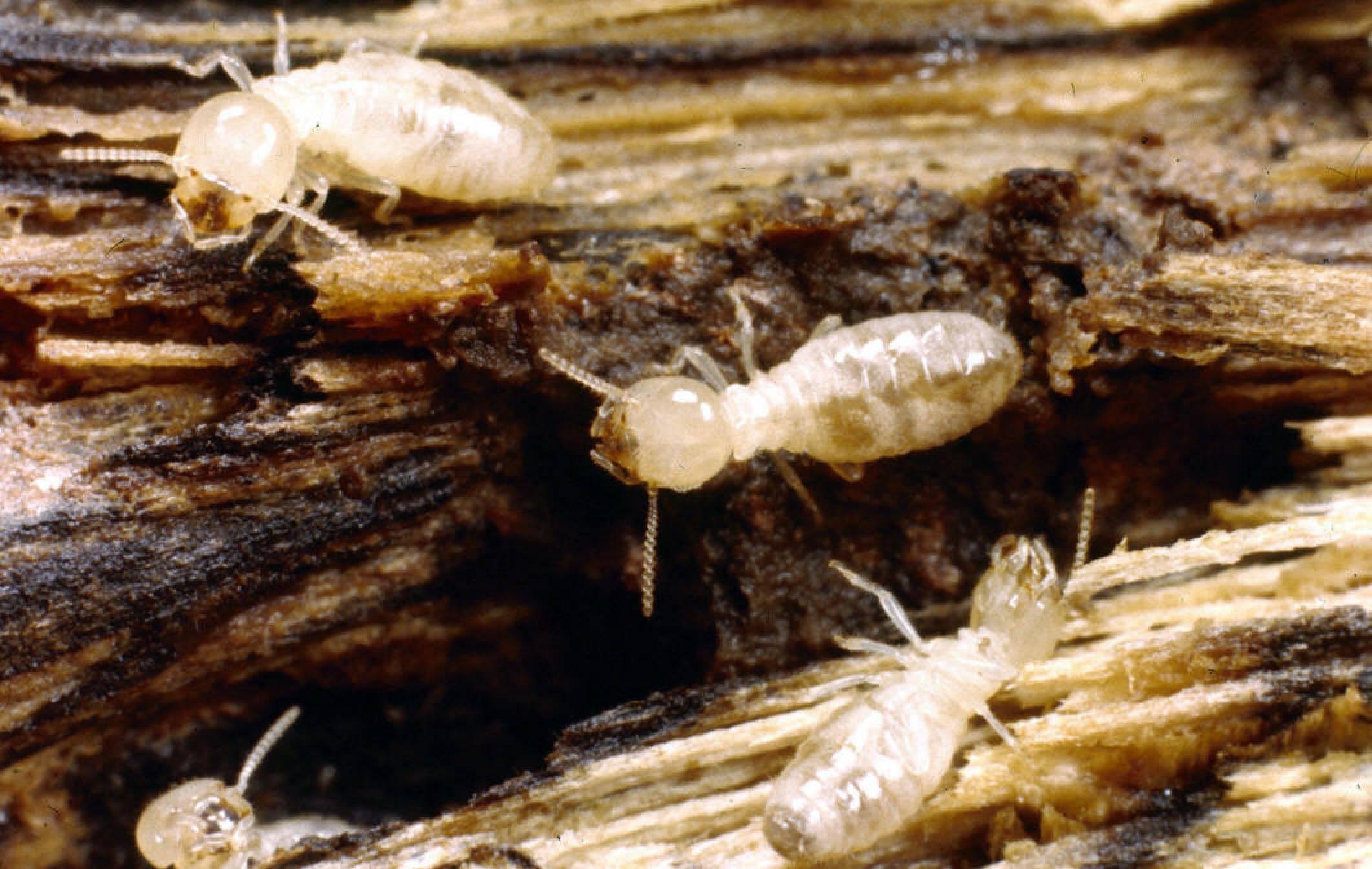 Subterranean Termite Pictures