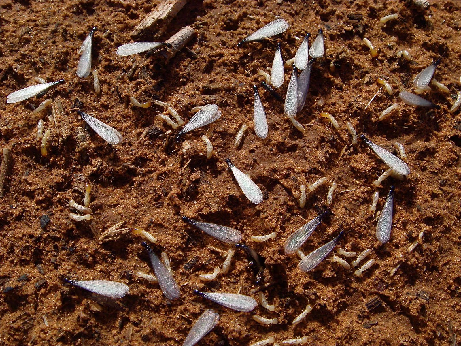 Subterranean Termite Swarmer