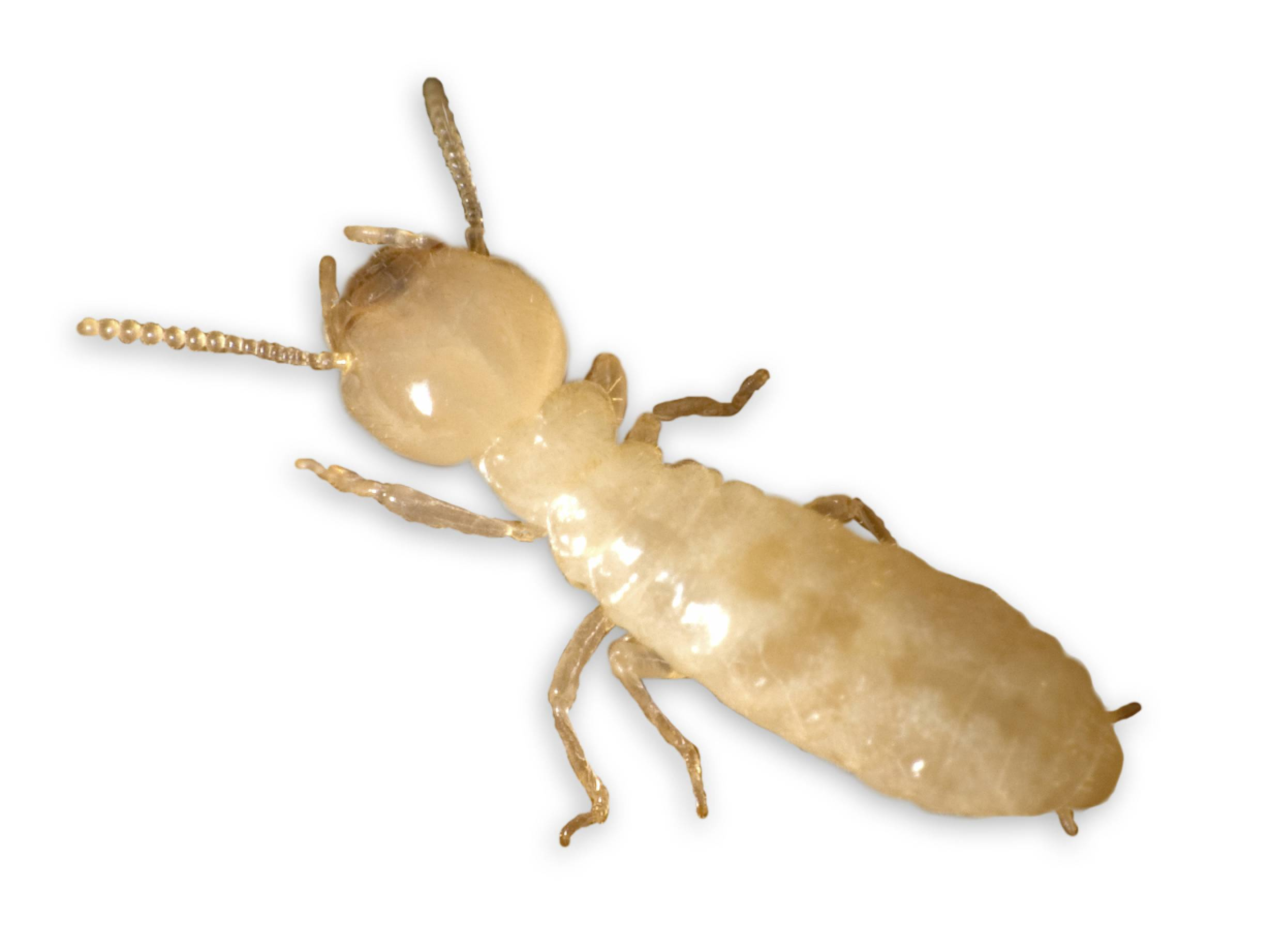Termite Subterranean