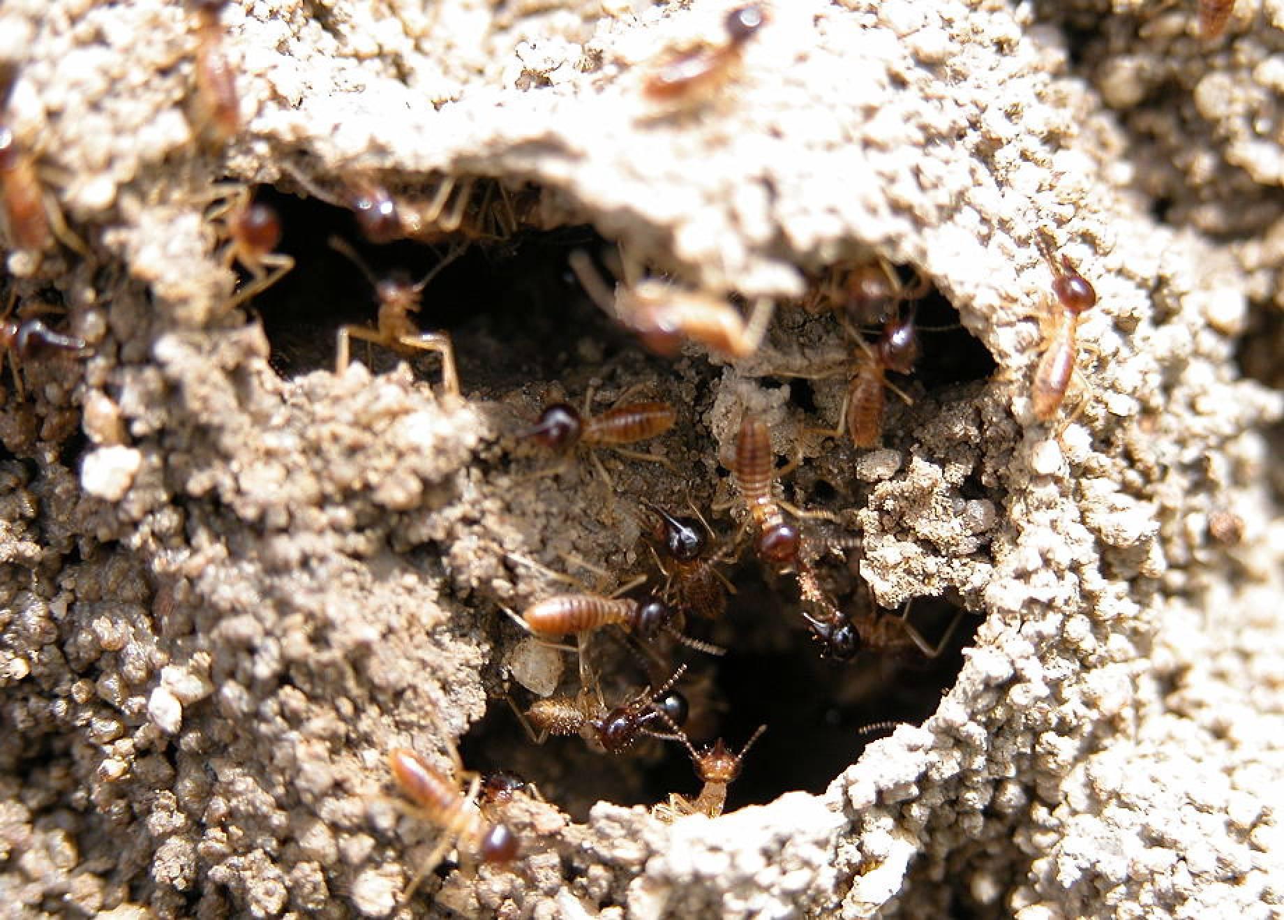 Termites Subterranean