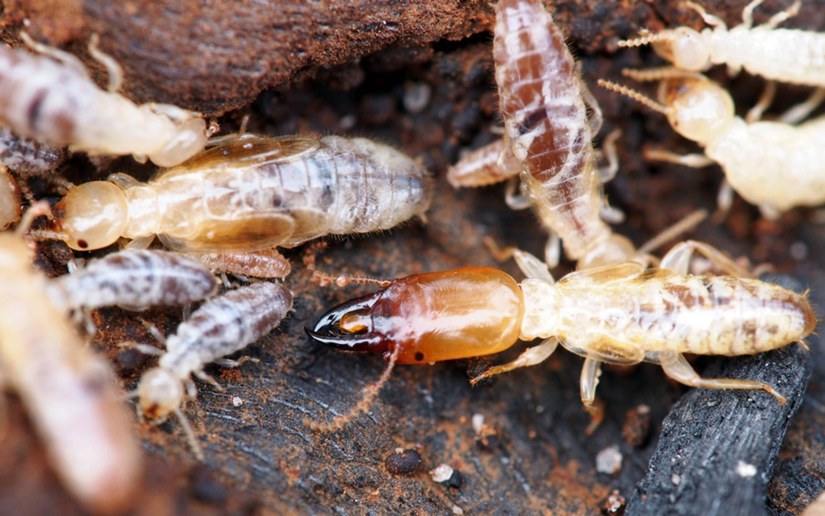 What Are Subterranean Termites