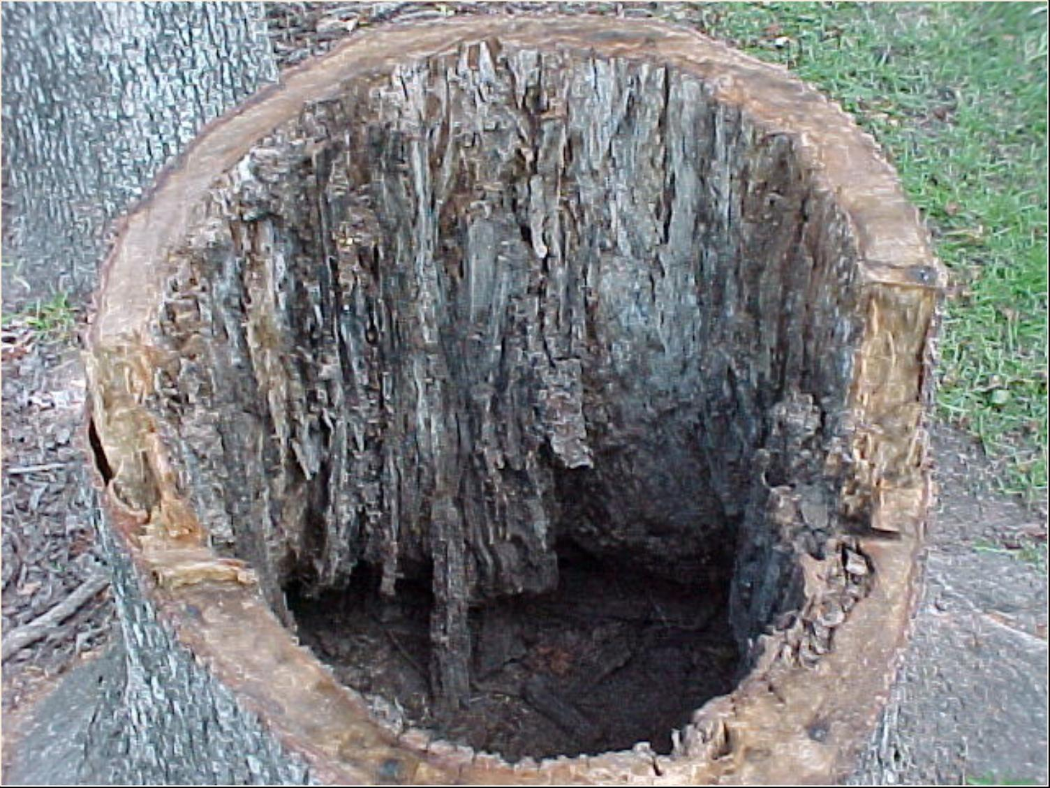 termite damage to trees