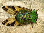 Cicada Image